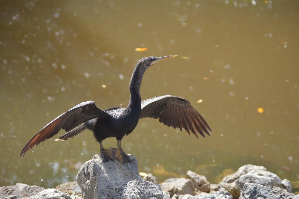 Wildlife experiences Southwest Florida - Sanibel Island wildlife- J.N. Ding Darling
