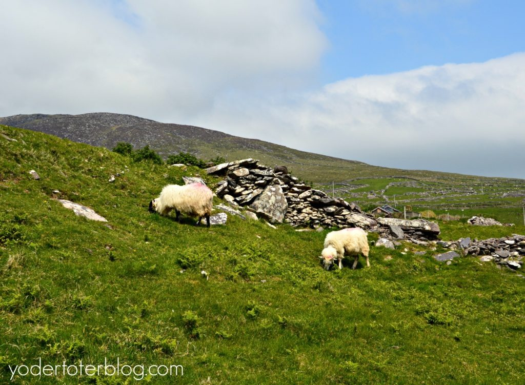 One day on the Dingle Peninsula and Slea Head Drive. From this viewpoint there is a great view of sheep and rock walls covering the hillsides.